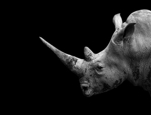 Un Rinoceronte Gris